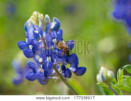 Bee pollinating Texas bluebonnet wildflower in the spring