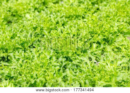 Green Leaf Lettuce Salad Plant In The Hydroponic System