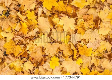 Yellow and brown maple leaves on the ground waiting to be raked