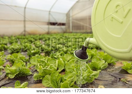 Young woman watering green salad in greenhouse in springtime.