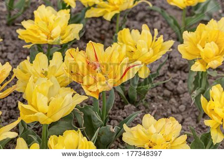 bright yellow tulips in the spring close up