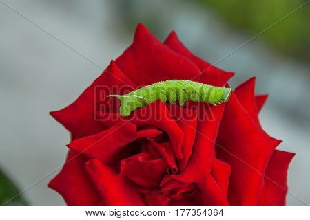 green caterpillar of the poplar hawk moth on a flower macro red rose with blurred background in summer