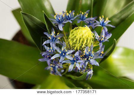 Macro photo of flowers of a Portuguese squill (Scilla peruvianensis)