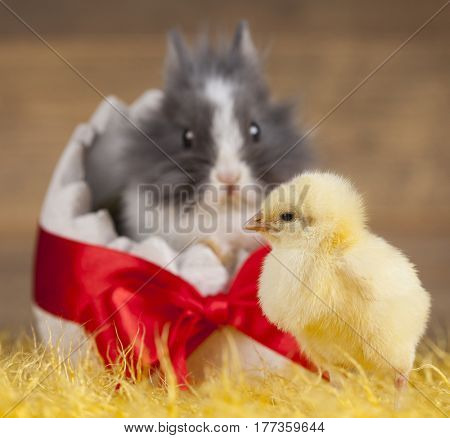 Happy Easter, Chick in bunny