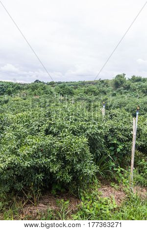 green garden pepper in Thailand , agriculture