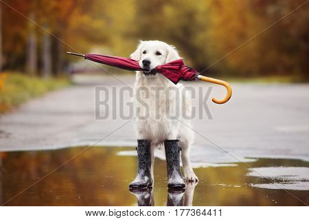 golden retriever dog in rain boots holding an umbrella outdoors in autumn