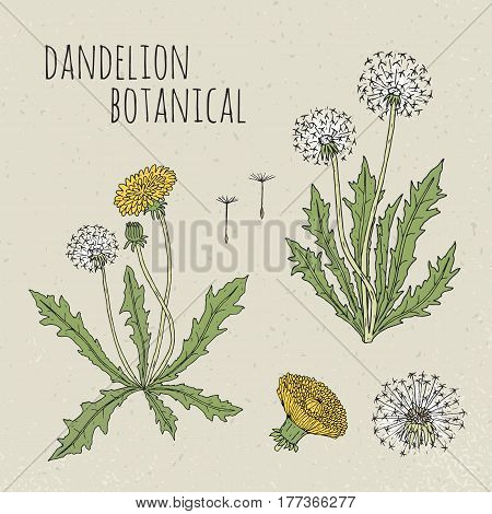 Dandelion medical botanical isolated illustration, Plant, flowers, leaves, seed, root hand drawn set. Vintage colorful sketch