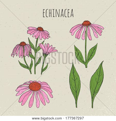 Echinacea medical botanical isolated illustration, Plant, flowers, leaves hand drawn set. Vintage colorful sketch.
