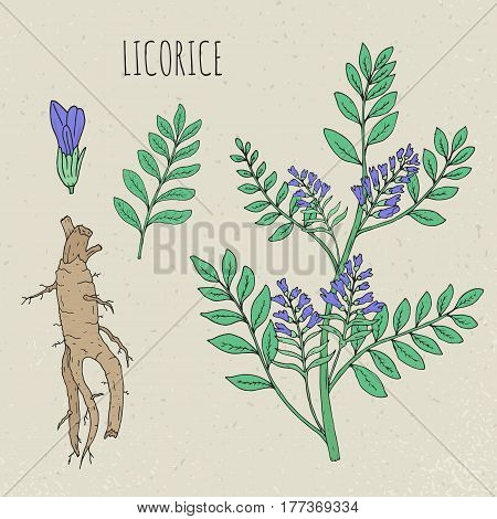 Licorice botanical isolated illustration, Plant, leaves, root, flowers hand drawn set. Vintage sketch colorful