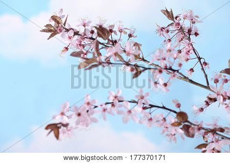 Branch with pink flowers against the blue sky and white clouds Spring flowering plants Kidney flowers blossom wild cherry