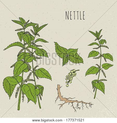 Nettle medical botanical isolated illustration, Plant, leaves, root, flowers hand drawn set. Vintage sketch colorful.