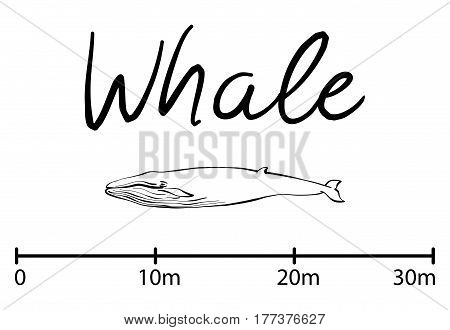 Silhouette of whale, blue whale sea animals isolated black and white vector illustration minimal style
