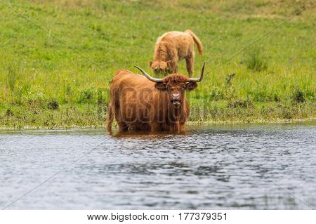 natural scottish highland beef in grassland and water