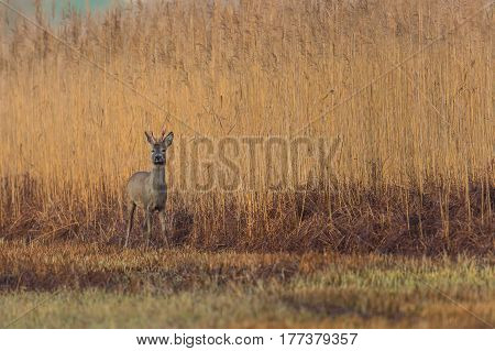 one natural roe deer buck standing in meadow with reed