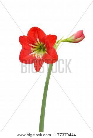 Amaryllis Baby Star Flower Isolated on White Background