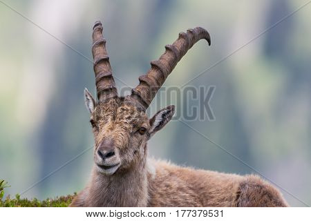 Portrait of natural male capricorn ibex lying in meadow