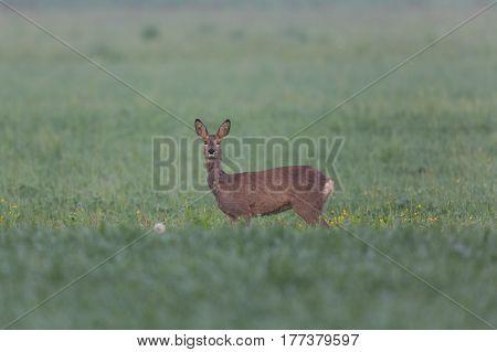 One female roe deer standing in meadow looking