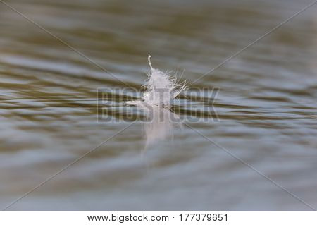 one natural white bird feather swimming on water surface