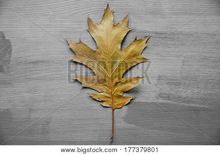 Oak tree leaf on a rustic wooden background. Oak tree leaves. Texture and background of oak tree leaf. Wooden background. Oak tree leaf isolated over gray background. Texture for designers.