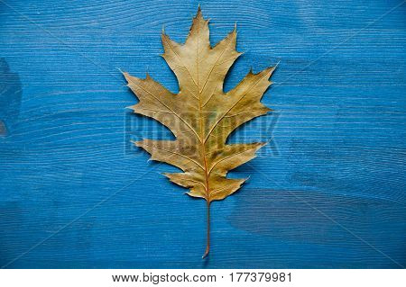 Oak tree leaf on a rustic wooden background. Oak tree leaves. Texture and background of oak tree leaf. Wooden background. Oak tree leaf isolated over blue background. Texture for designers.