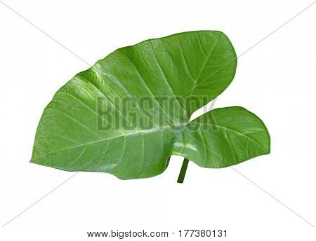 Single taro leaf isolated on white background