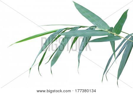 Fresh Bamboo leaves on branch isolated on white background