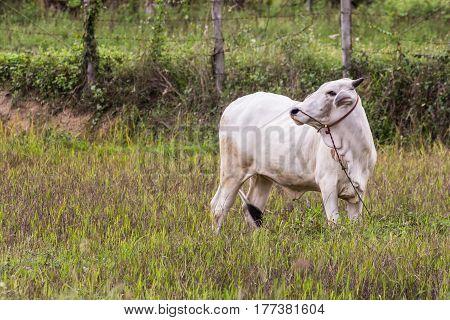 Thai white cow in field , mammal