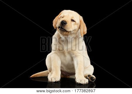 Golden Labrador Retriever puppy sitting and wink isolated on black background front view