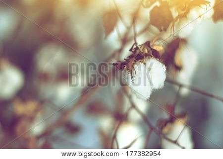 cotton field cotton plant flower branch on sunset light background