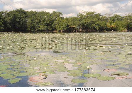 Aquatic Flowers At Isla De Las Flores On River Dulce Near Livingston
