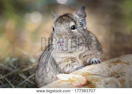 Portrait of a little degu peeking from behind the branches in the forest