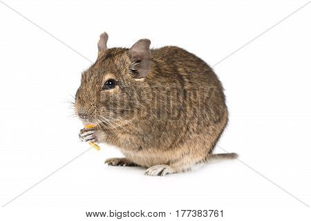 Little Degu eating dried fruits isolated on a white background