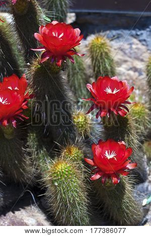 Blossoming cactus and its red flowers. Vertical image