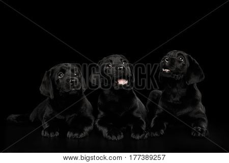 Three funny Labrador Retriever puppies Lying and happy Looking up isolated on black background, front view