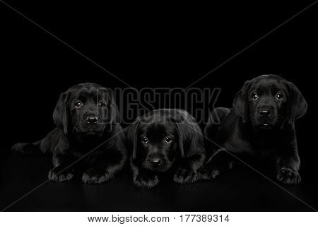 Three Cute Labrador Retriever puppies Lying and looking sad isolated on black background, front view