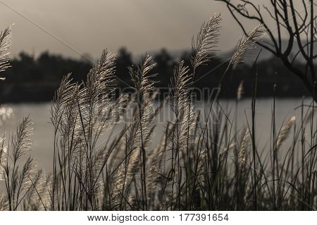 on a green lawn in the sunset. the sun's rays fall on the grass flowers. grass grows directly out of the water.