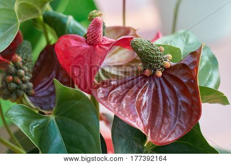 red anthurium in the vase for holidays