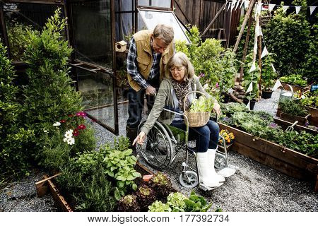 Senior adult couple picking vegetable from backyard garden
