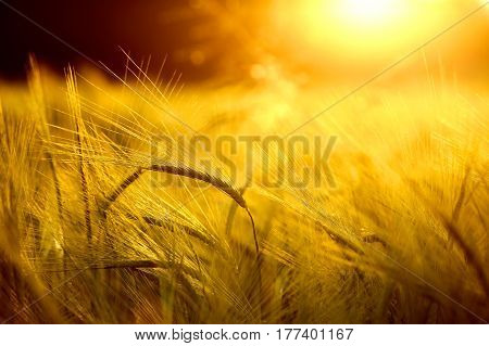 Barley field in golden glow of evening sun. Nutrition food industry and agriculture concept and background with copy space.