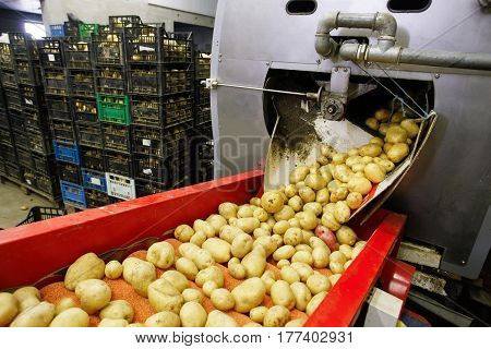 Cleaned potatoes on a conveyor belt prepared for packing. Agribusiness food industry technology and trade concept.