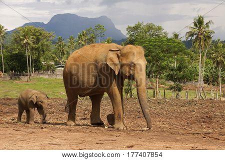 Elephant mother with baby in pinnawala elephant orphanage Sri Lanka horizontal
