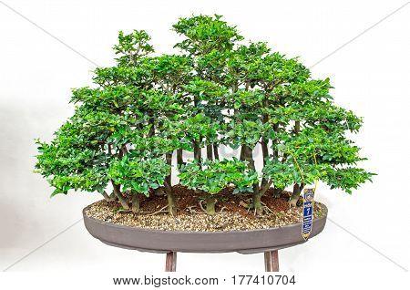 11-8-2016 bonsai trees in Lanna August 12th Queen Sirikit Botanic No. 35 in Chiang Mai Thailand.