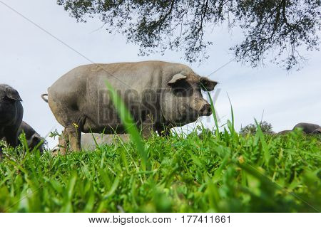Iberian spanish pig in a green meadow. Low angle view.