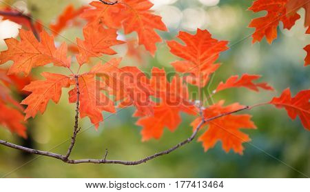 Autumn landscape in park beautiful red maple leaves. Shallow depth of field, soft focus photo