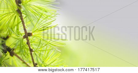 Pine tree branch with greenery needles close-up. Forest tree macro view. soft focus. Spring time season concept. Copy space.