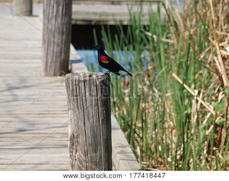 A male red winged blackbird sits on a post on a dock near a lake.