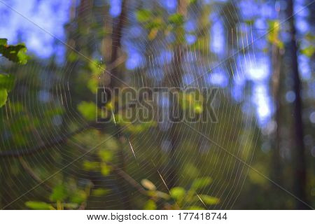 Spiderweb without spider on tree branch in Siberian taiga forest. Macro background.