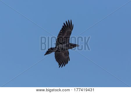 Portrait Of Northern Raven (corvus Corax) In Flight