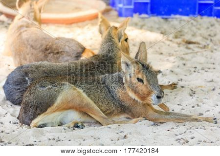 A patagonian mara Dolichotis patagonum resting at the ground. This relatively large rodent can be found in open and semi-open habitats in Argentina including large parts of Patagonia