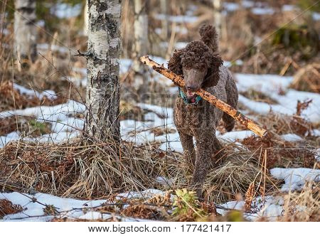 Brown Poodle In Action Fetching A Stick In The Springtime Forest